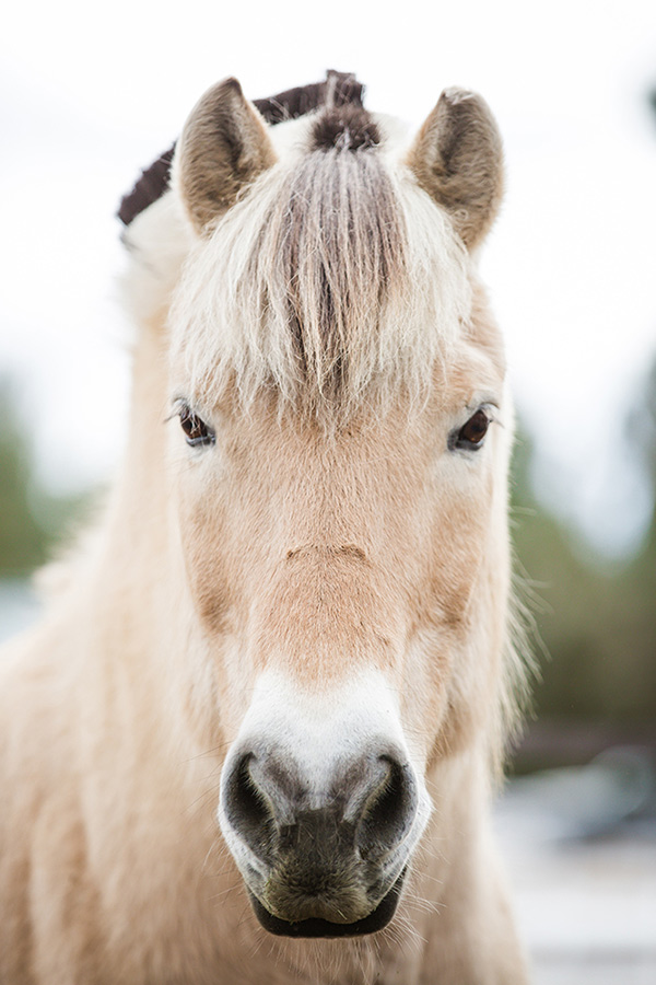 Aesir Norwegian Fjord Horse