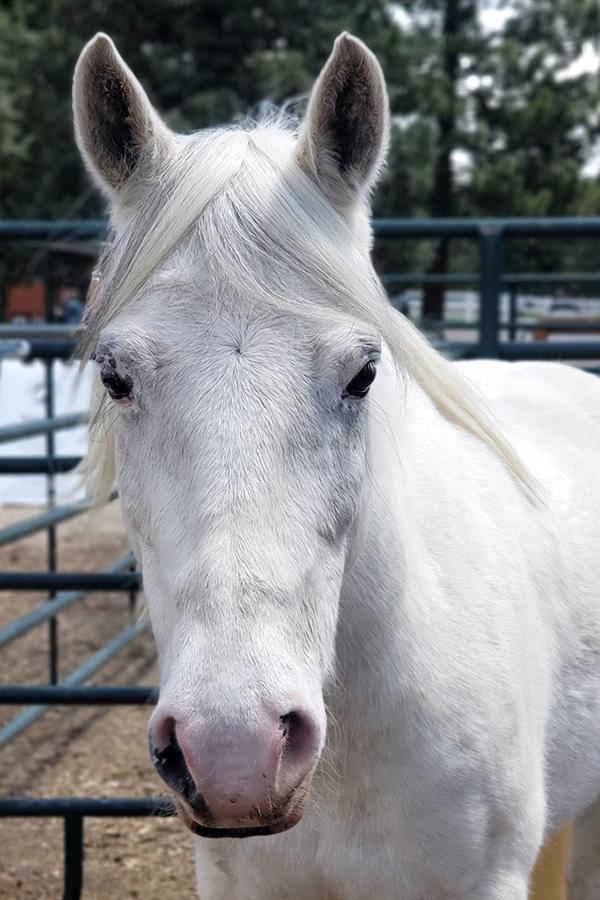Annie Welsh Arab Cross Horse