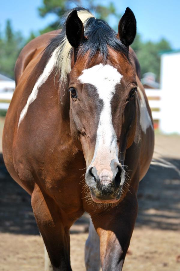 Bodie - Quarter Horse Paint Cross