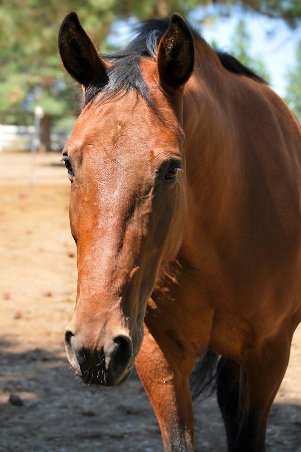 Dakota - Kentucky Mountain Horse