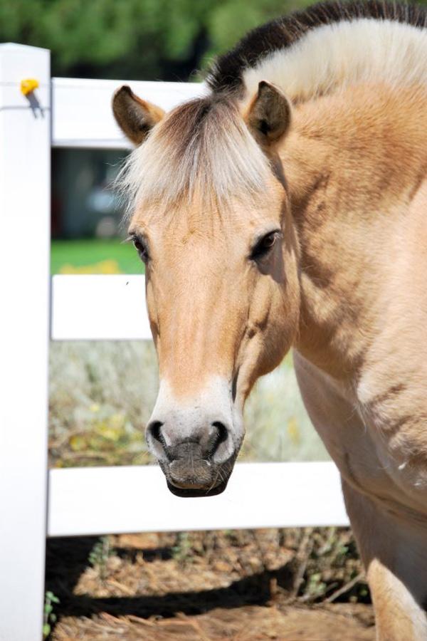 Faith - Norwegian Fjord Therapy Horse