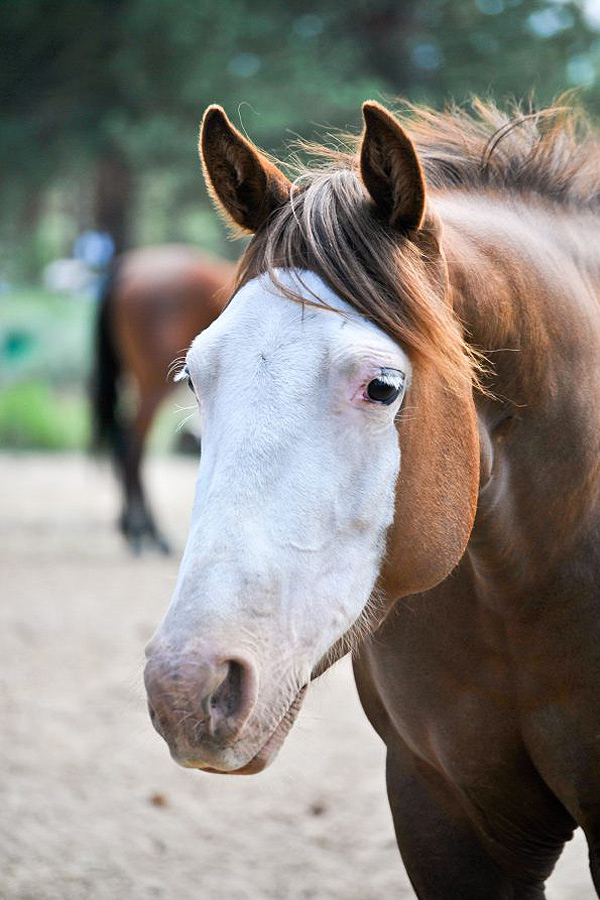 fancie - quarter horse therapy