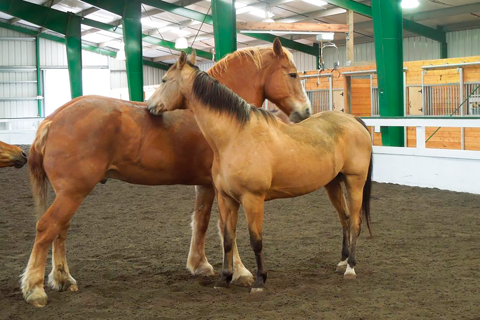 Two horses standing in healing reins arena